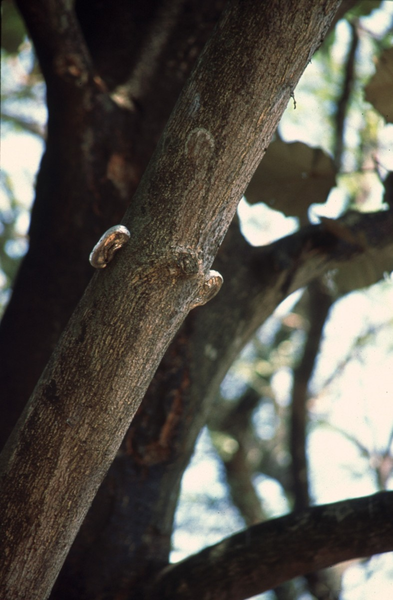 Listener, 2001 –  													Installation of one set of ears in tree. There were five pairs all together